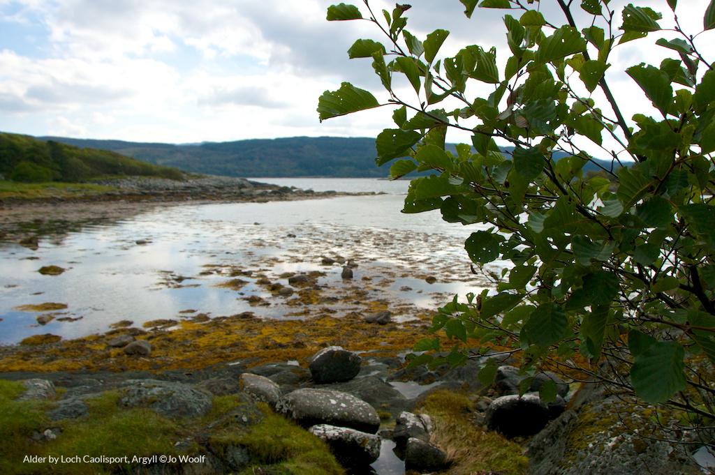 Alder by Loch Caolisport, Argyll © Jo Woolf