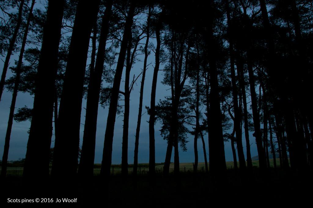 Scots pines © Jo Woolf