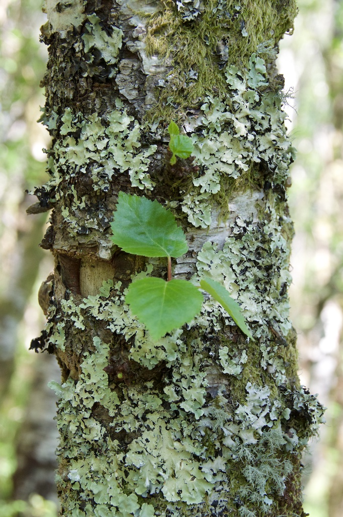Birch bark © 2016 Jo Woolf.