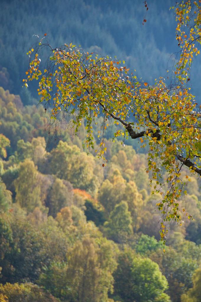 Killiecrankie birch © 2016 Jo Woolf.
