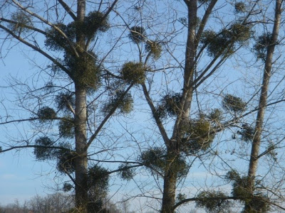 Mistletoe in Herefordshire trees © Anne O'Brien