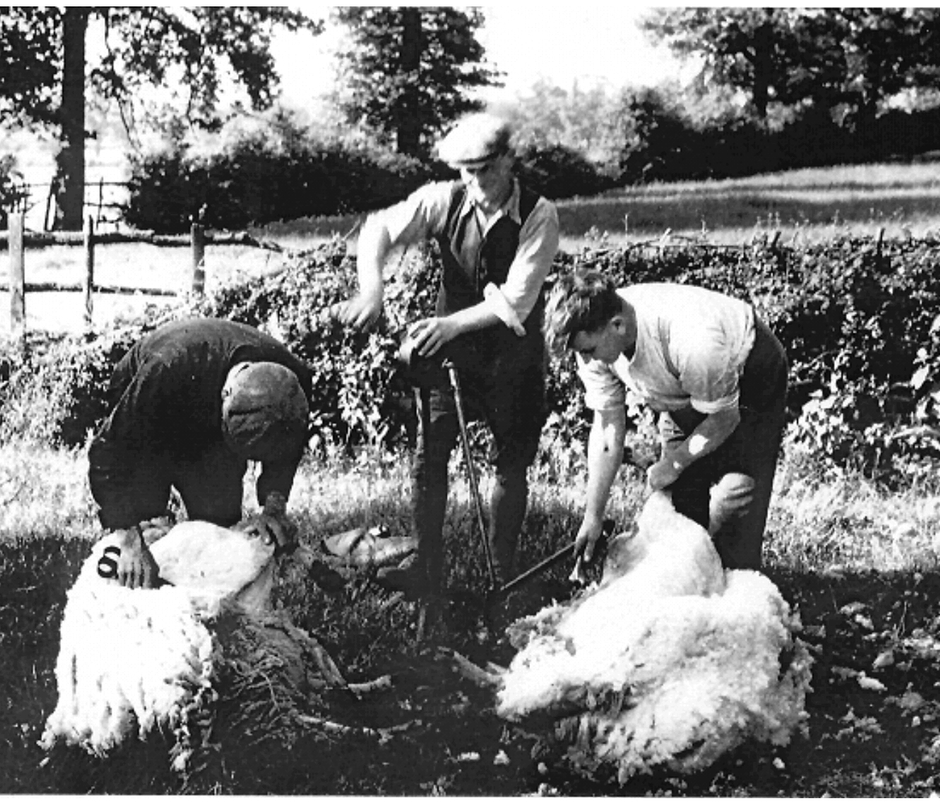 Shearing in the 1930s. Mechanical clippers are now replacing hand shears — Courtesy of H. Spencer