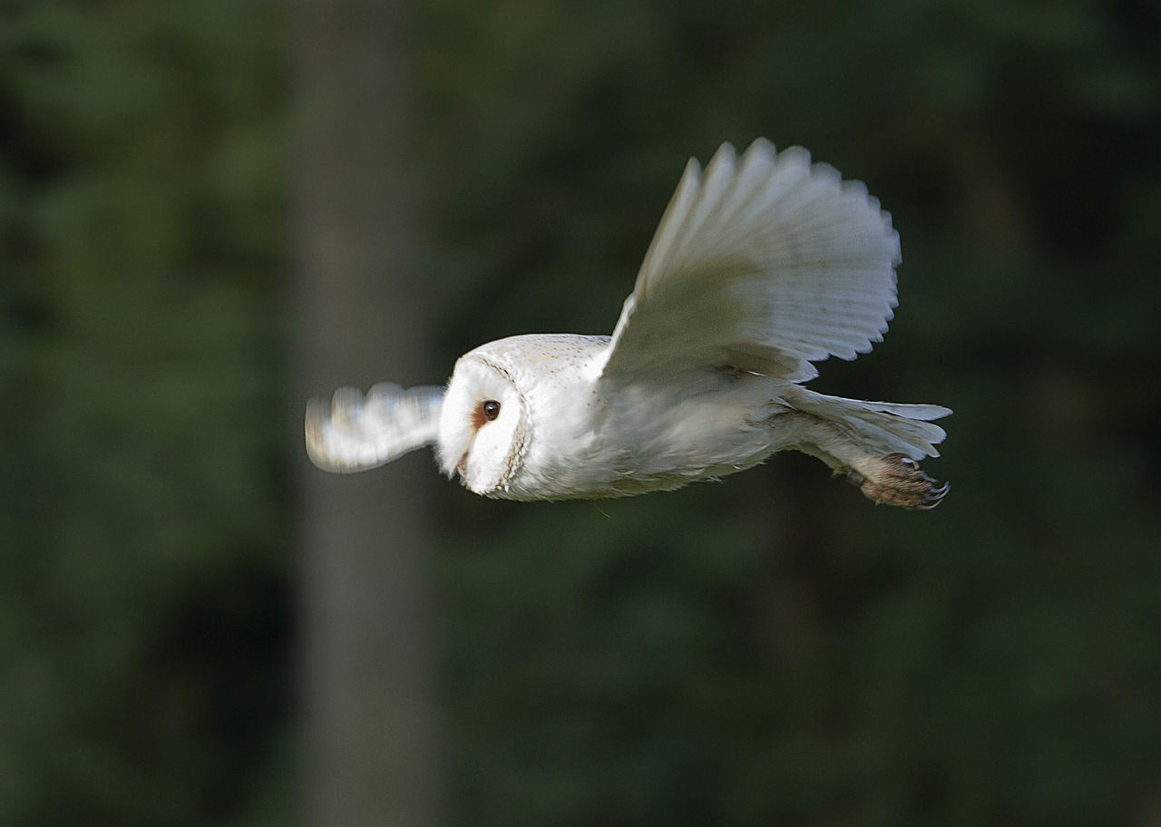Beware the Shriek of a Barn Owl - By Edd deane from Swaffham, England https://commons.wikimedia.org/w/index.php?curid=19881692