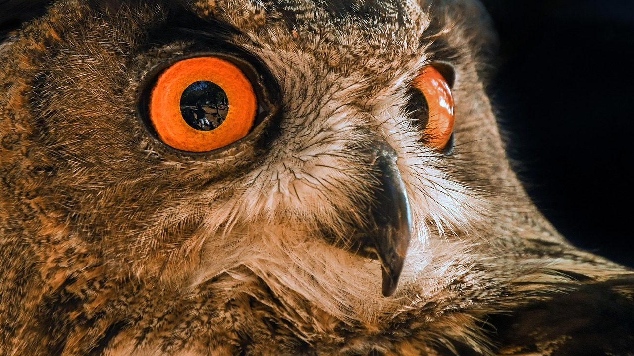 Close up of an owl's eyes
