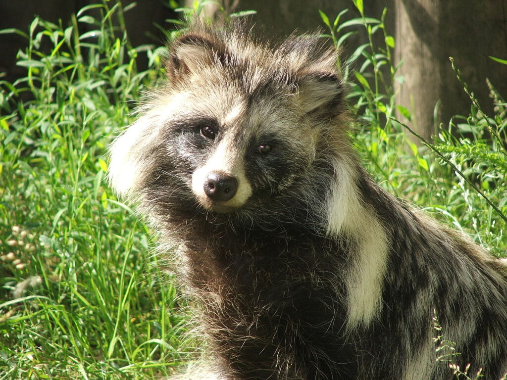 Japanese raccoon dog (Nyctereutes procyonoides viverrinus), also known as tanuki (狸 or たぬき) By I, Pkuczynski, CC BY-SA 3.0 https://commons.wikimedia.org/w/index.php?curid=2346388