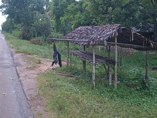 A dead aye-aye hangs near a crossroad with hopes that travelers carry away bad luck when passing by. By Thomas Althaus, CC BY 3.0 https://commons.wikimedia.org/w/index.php?curid=17756593