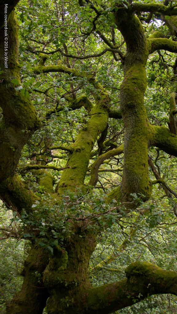 Moss covered oak © Jo Woolf