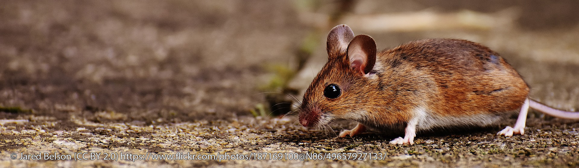 Mouse © Jared Belson (CC BY 2.0) https://www.flickr.com/photos/187169100@N06/49657927133