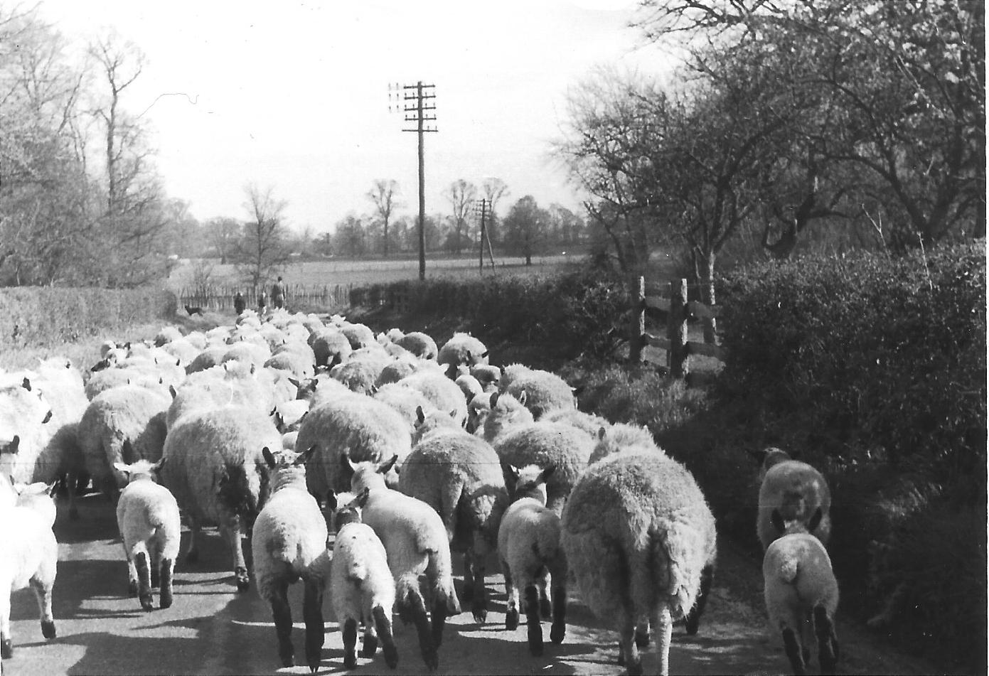 Moving sheep to new pastures, a timeless scene! — Courtesy of H. Spencer
