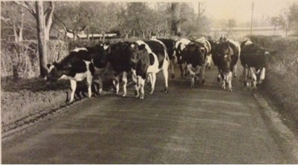 Dairy cows walking from pasture to parlour in a Warwickshire village, c1960. – Hannah Spencer