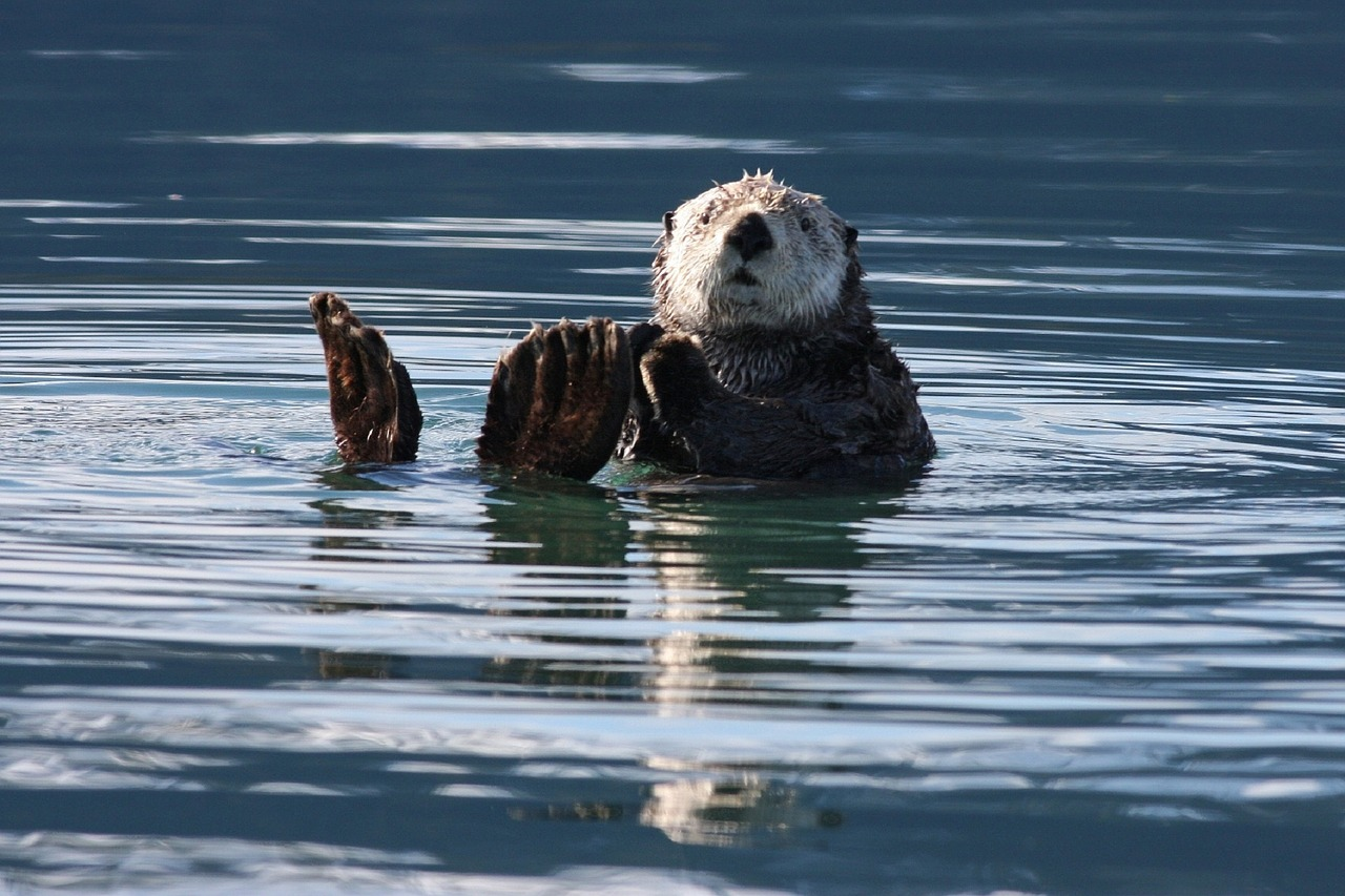 Sea otter https://pixabay.com/en/sea-otter-swimming-floating-water-1432794/