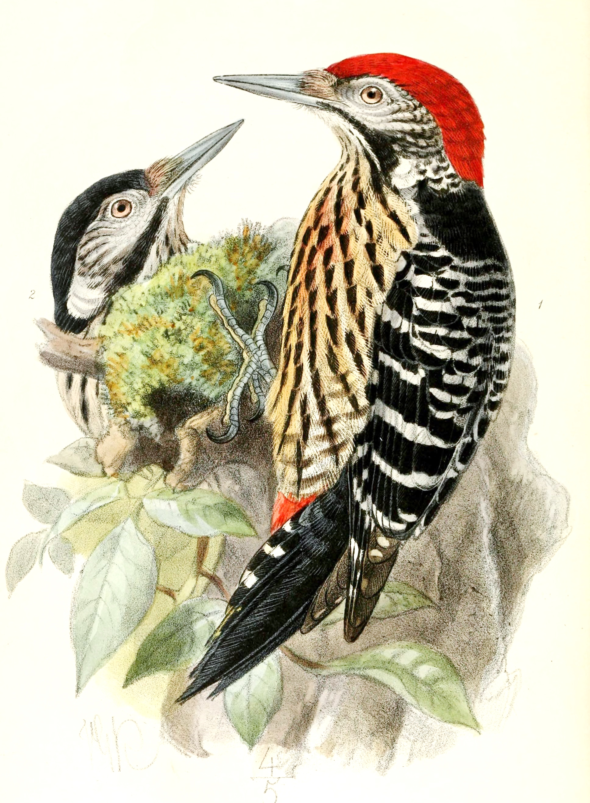 Dendrocopos atratus (Stripe-breasted Woodpecker) by John Gerrard Keulemans [Public domain] https://commons.wikimedia.org/wiki/File:Dendrocopos_atratus_1876.jpg#/media/File:Dendrocopos_atratus_1876.jpg