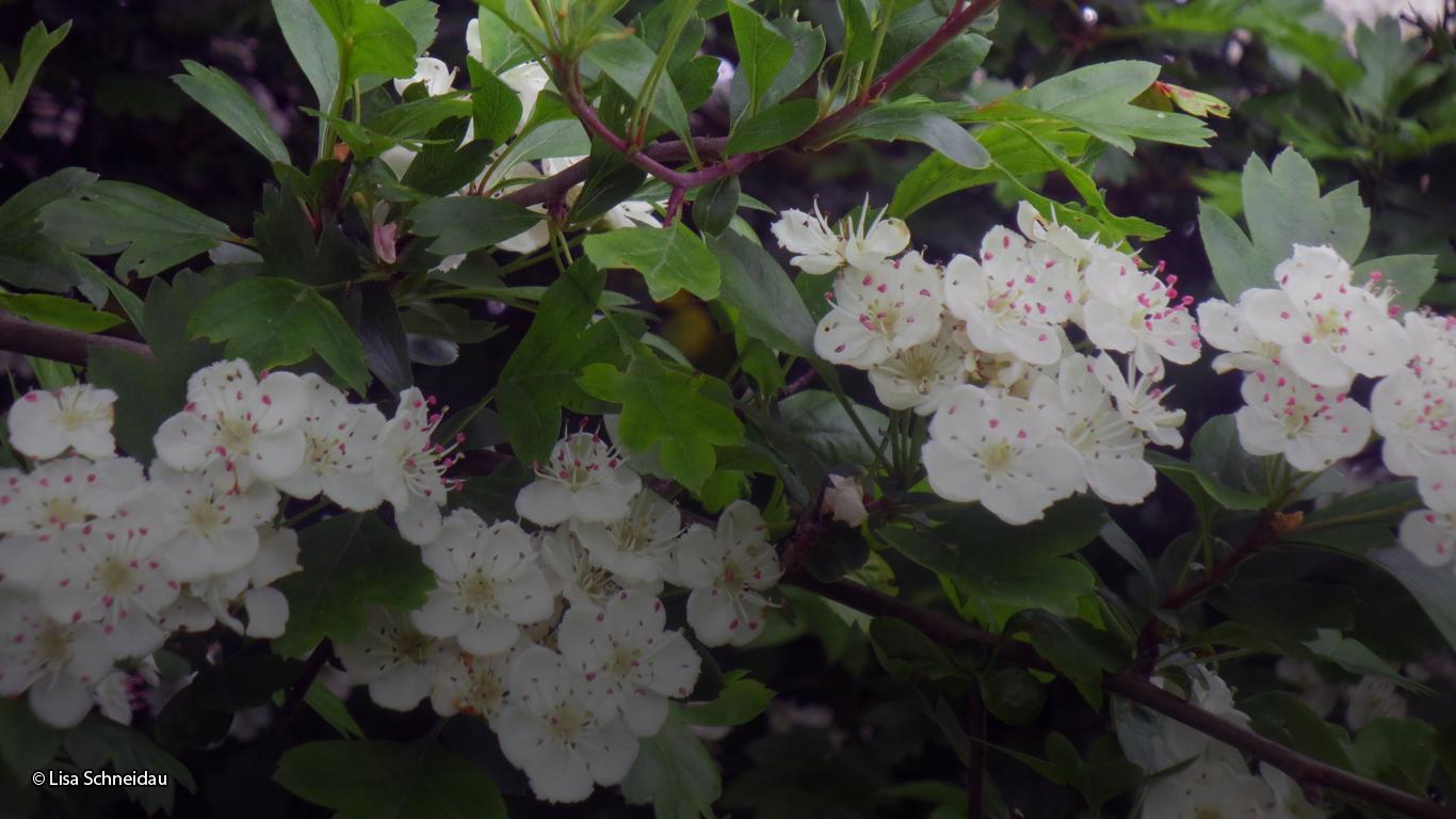 Hawthorn Blossom © Lisa Schneidau