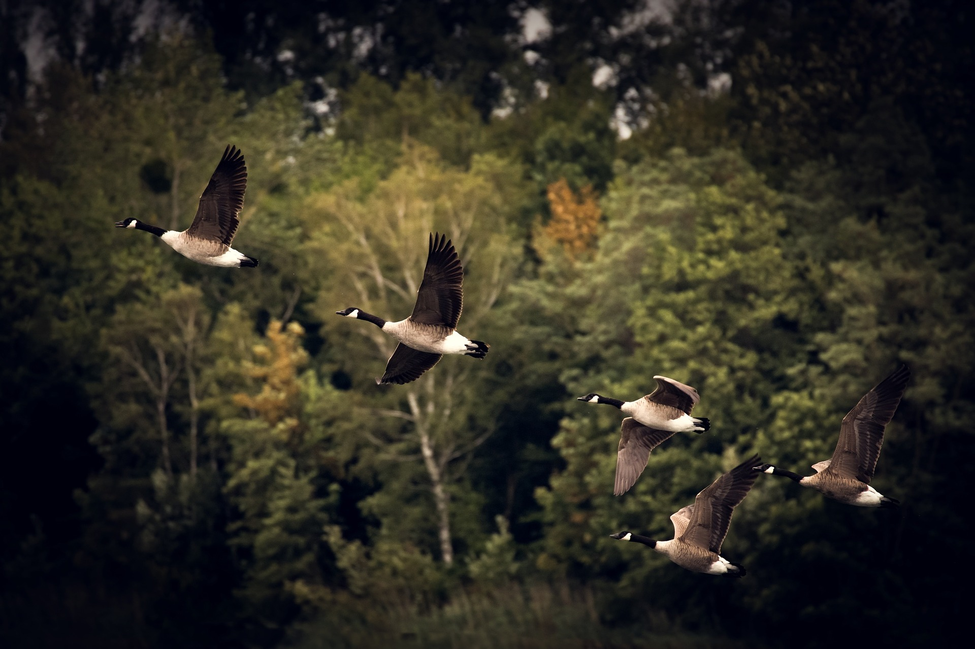 Geese flying -- Mother Goose Tales