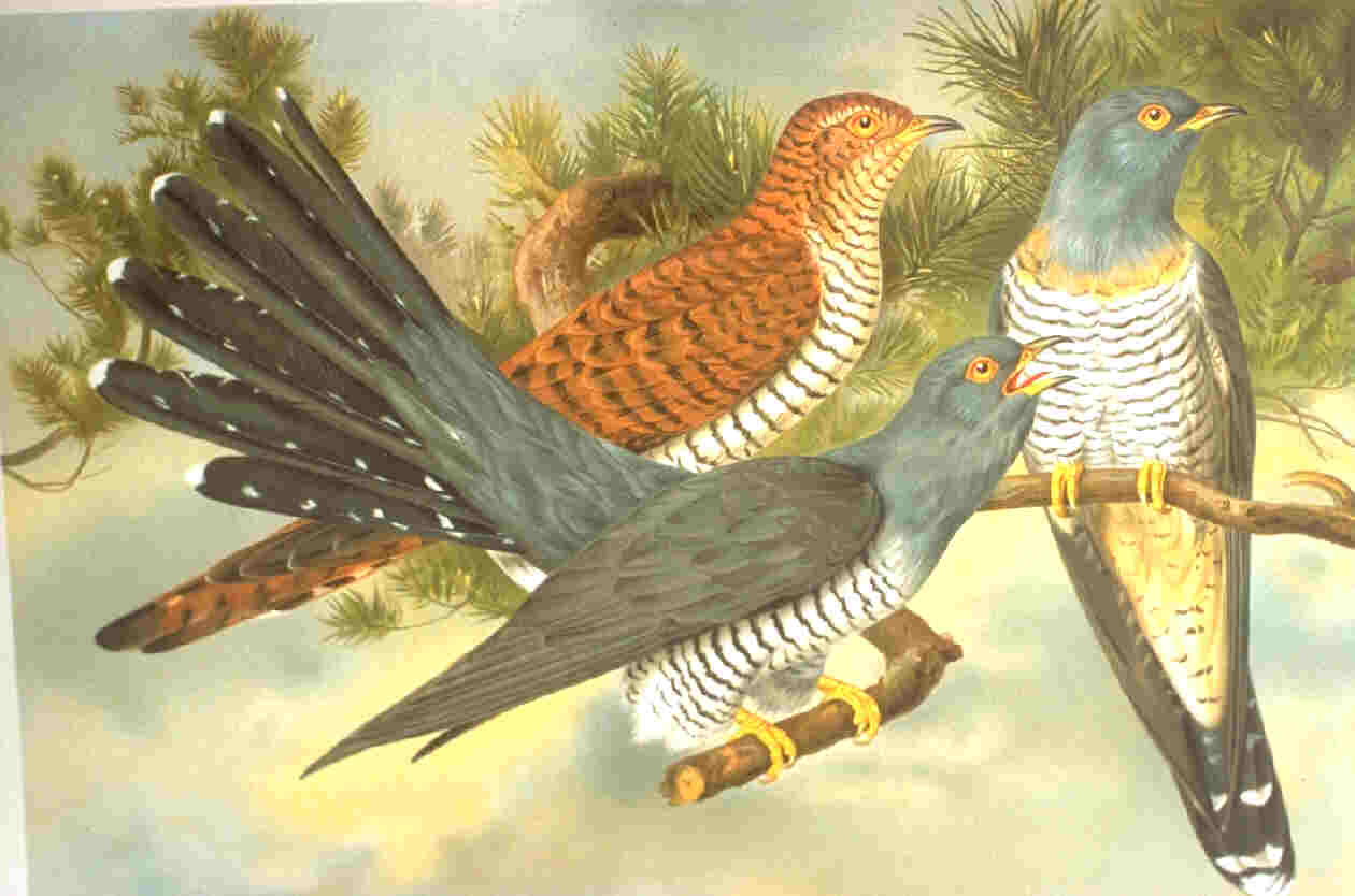 Common cuckoo Public Domain, https://commons.wikimedia.org/w/index.php?curid=569109