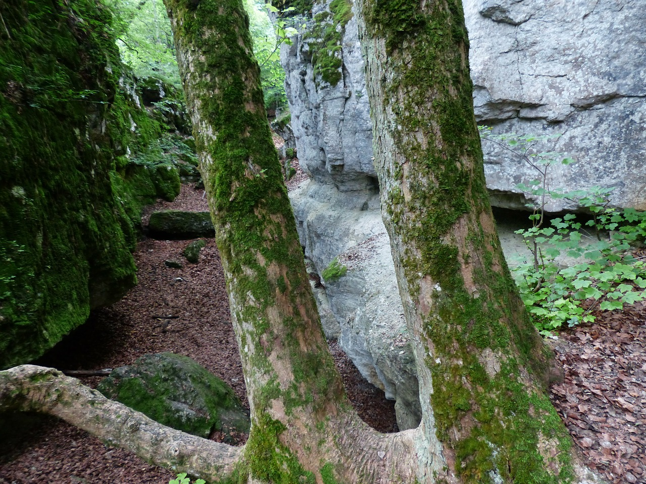 https://pixabay.com/photos/tree-trunks-trees-rock-cleft-rock-167479/