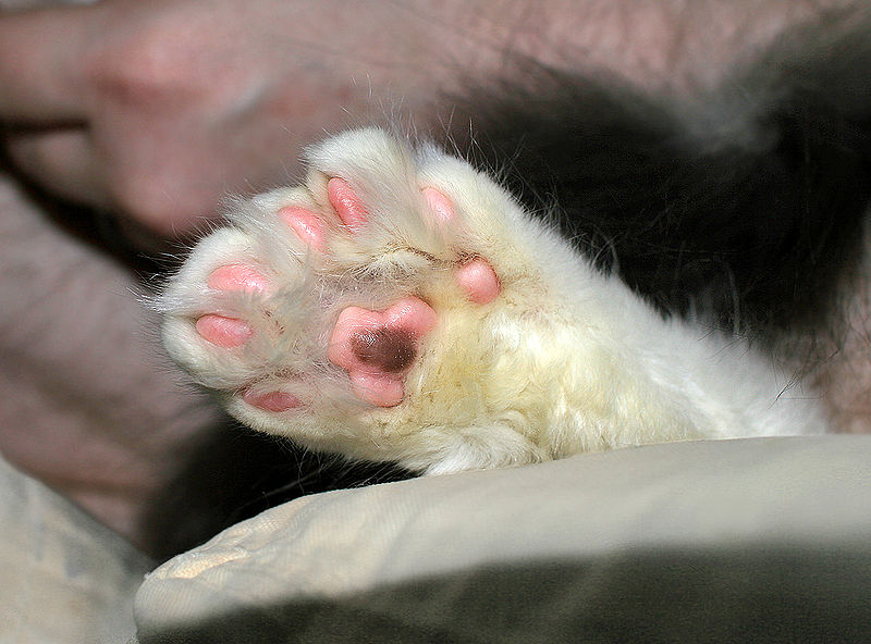 Polydactyl Cat's Paw – Onyxrain, Public Domain https://commons.wikimedia.org/w/index.php?curid=1982031