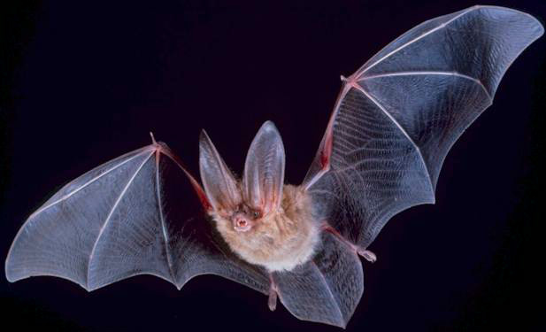 By PD-USGov, exact author unknown - https://www.nps.gov/chis/learn/nature/townsends-bats.htm, Public Domain, https://commons.wikimedia.org/w/index.php?curid=192812