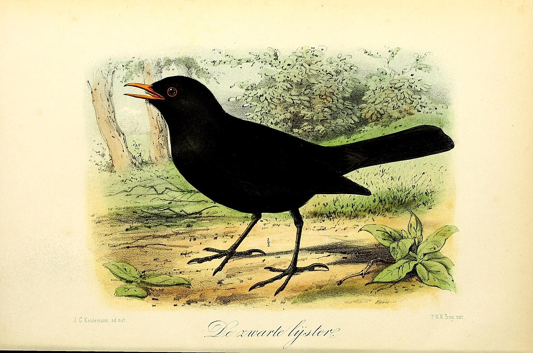 Blackbird. Keulemans, J. G. Public domain https://commons.wikimedia.org/wiki/File:Onze_vogels_in_huis_en_tuin_(12239505706).jpg#/media/File:Onze_vogels_in_huis_en_tuin_(12239505706).jpg