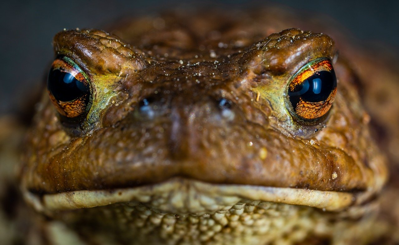 Toad, by Егор Камелев from Pixabay. Source https://pixabay.com/photos/toad-amphibian-3414441/