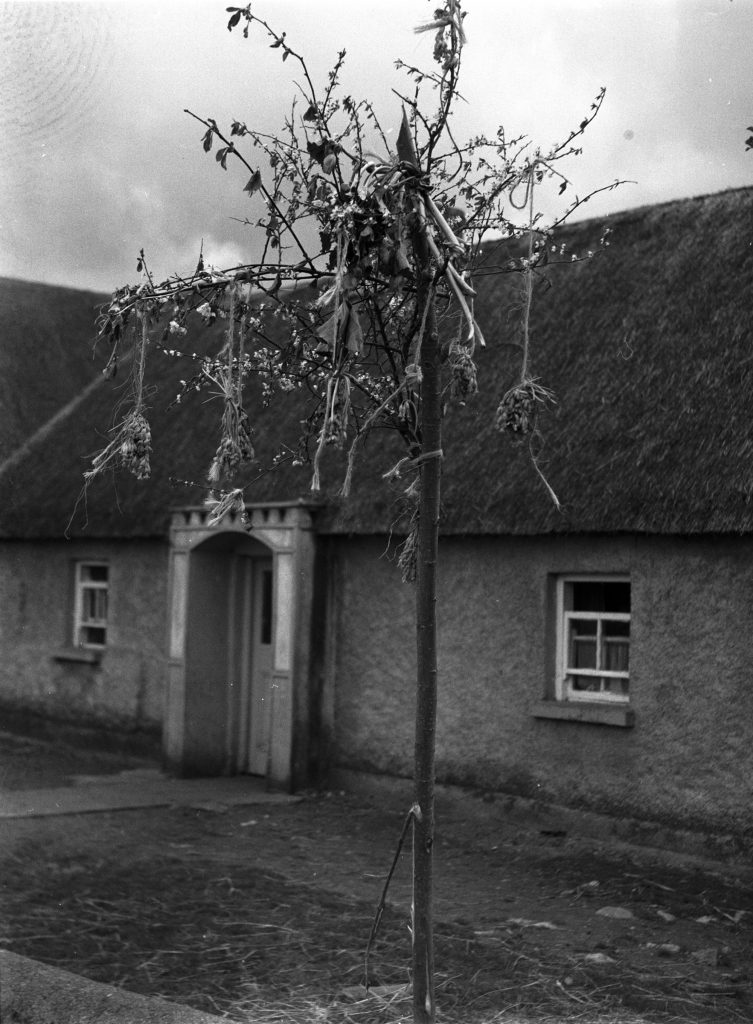 May Bush outside a cottage, Westmeath (May 1964). Photographer: James G. Delaney. Source https://www.duchas.ie/en/cbeg/22017
