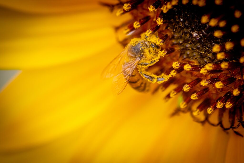 Image by Sunè Theron from Pixabay https://pixabay.com/photos/bee-honeybee-sunflower-pollination-4786218/