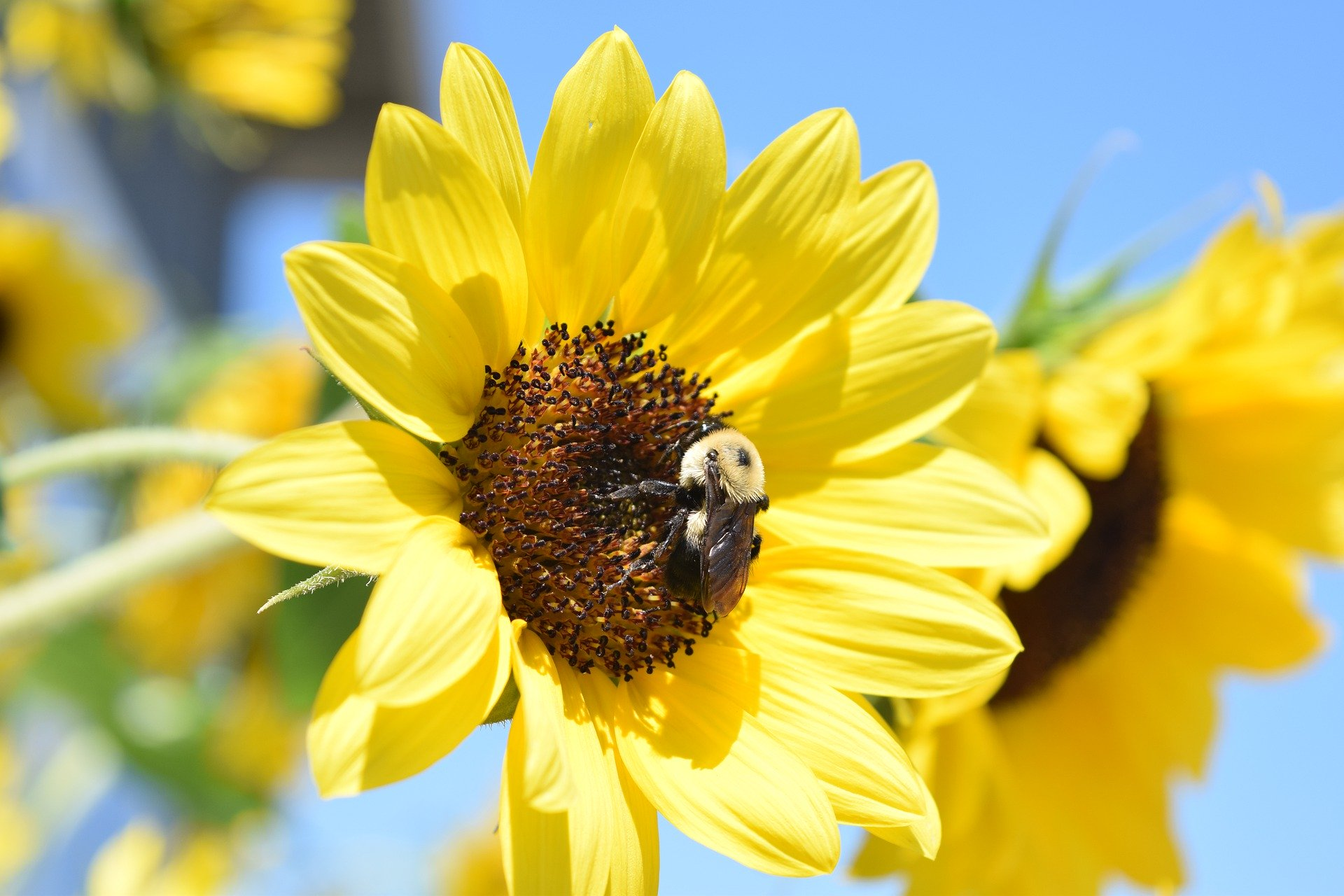 Bee with flower, by abarefootgal https://pixabay.com/photos/yellow-sunflower-sunshine-summer-5223420/
