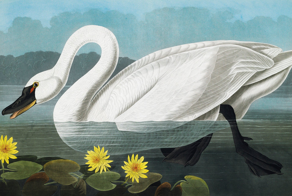 Swan with flowers. By John James Audubon - John James Audubon - Birds of America, Public Domain, https://commons.wikimedia.org/w/index.php?curid=5624180