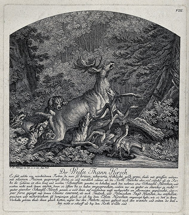 Hunting the White Stag. Wellcome Images, CC BY 4.0 https://commons.wikimedia.org/wiki/File:A_white_stag_brought_down_by_a_pack_of_dogs._Etching_by_J.E._Wellcome_V0021080.jpg#/media/File:A_white_stag_brought_down_by_a_pack_of_dogs._Etching_by_J.E._Wellcome_V0021080.jpg