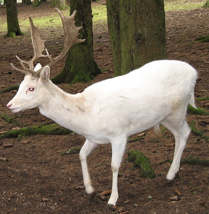 A magical white deer. By © Túrelio (via Wikimedia-Commons), 2006, CC BY-SA 2.5, https://commons.wikimedia.org/w/index.php?curid=1633563