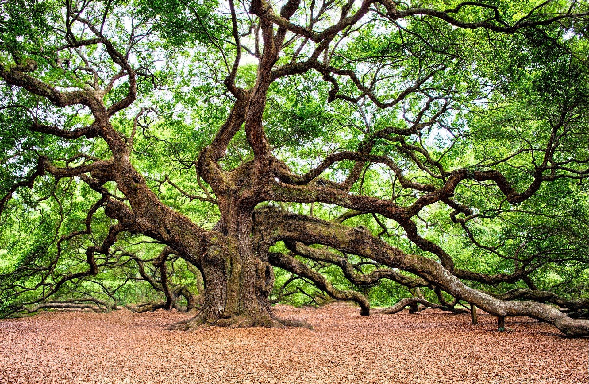 Large tree. Image by RegalShave from Pixabay https://pixabay.com/photos/oak-tree-tree-huge-old-charleston-2018822/