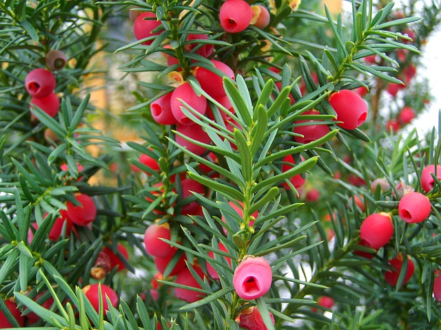 Yew berries by Anna Armbrust from Pixabay https://pixabay.com/photos/yew-tree-fruit-berry-red-nature-971456/
